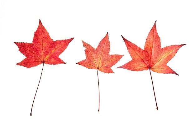 Red autunno liquidambar o foglie di acero isolate su bianco
