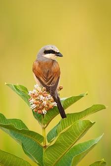 Shrike sostenuto da rosso che si siede su un fiore dell'albero di fioritura e che guarda dietro.