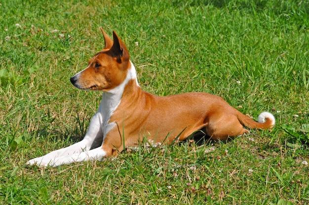 Il cane rosso di basenji sta sedendosi sull'erba verde
