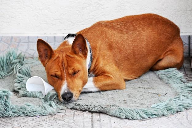 Il cane rosso basenji sta dormendo sul pavimento