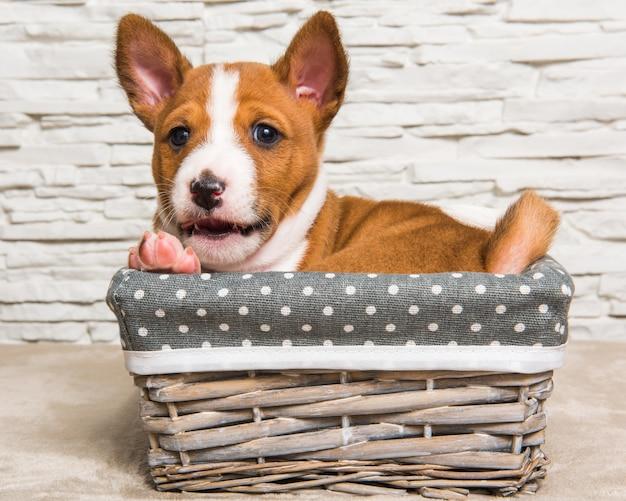 Cucciolo di cane basenji rosso nel cestino