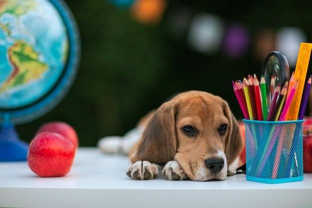 Cucciolo rosso del cane da lepre che mette sullo scrittorio bianco della scuola con le penne ed il globo