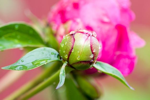 Bella peonia rossa con gocce di rugiada dopo la pioggia o il freddo