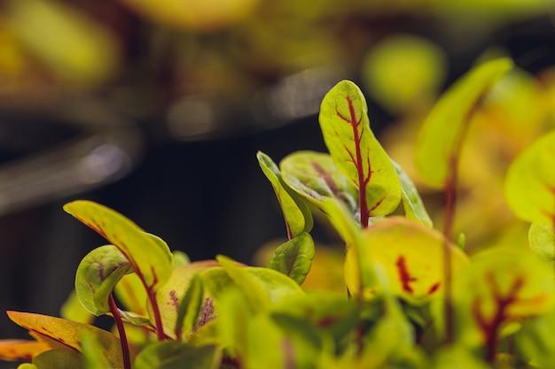 Barbabietola rossa fresca germogli e foglie giovani vista frontale di erbe vegetali e microgreen anche barbabietola da giardino da tavola
