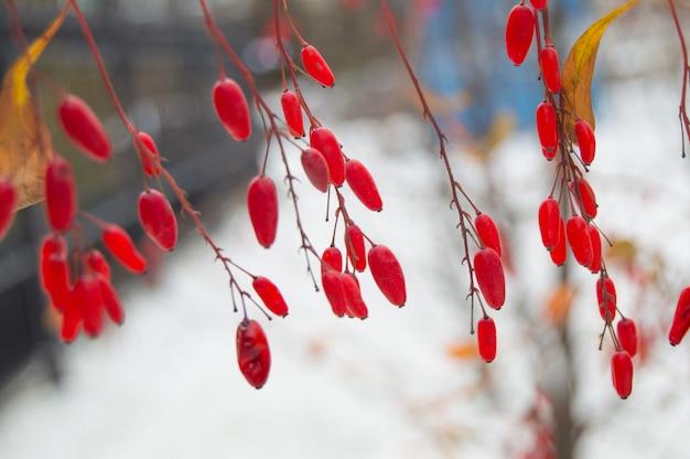 Bacche rosse del fuoco selettivo del primo piano del crespino su fondo bianco