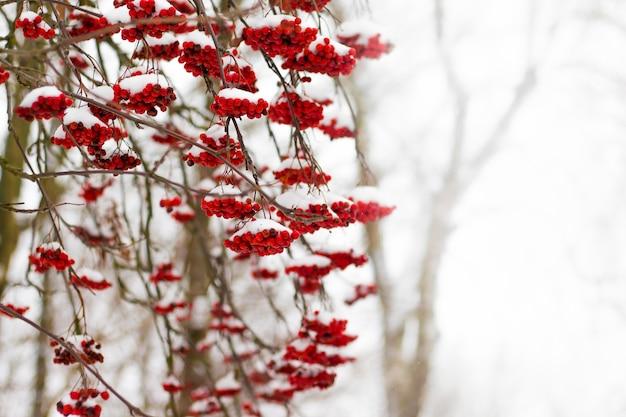 Bacche rosse di cenere di montagna, coperte di neve in una giornata invernale. spazio libero per l'inserimento del testo_