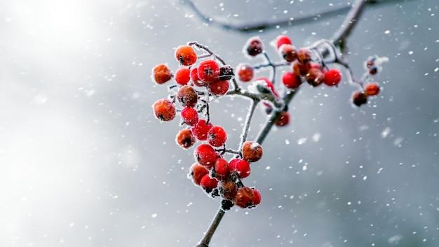 Bacche rosse di cenere di montagna su uno sfondo grigio sfocato durante una nevicata