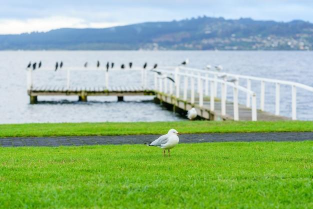 Gabbiano becco rosso in piedi sulle erbe al lago taupo, isola del nord della nuova zelanda