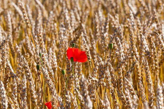 Fioritura rossa e colore sbiadito che cresce insieme al grano sul campo agricolo, foto del primo piano