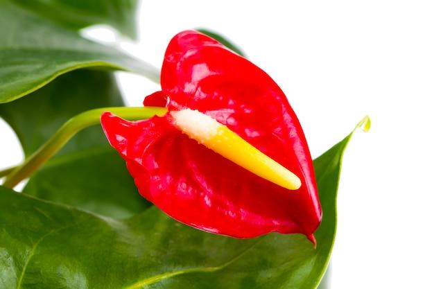 Calla rossa, a forma di cuore, su sfondo bianco. anthurium pianta tropicale, del gruppo di piante arum araceae.
