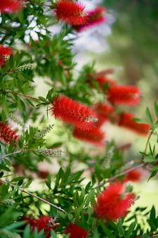 Fiori di callistemon rossi su un cespuglio verde