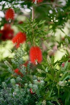 I fiori rossi del callistemon crescono su un cespuglio verde