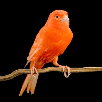 Canarino rosso sul suo pesce persico isolato
