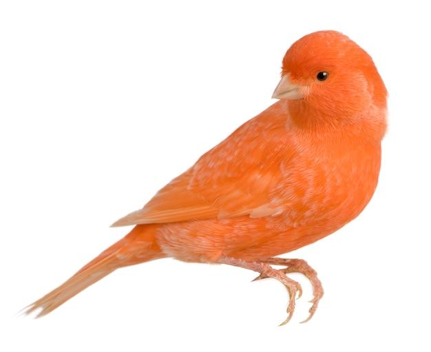 Canarino rosso, serinus canaria, arroccato isolato