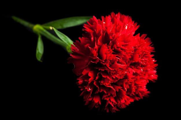 Garofano rosso su sfondo nero.