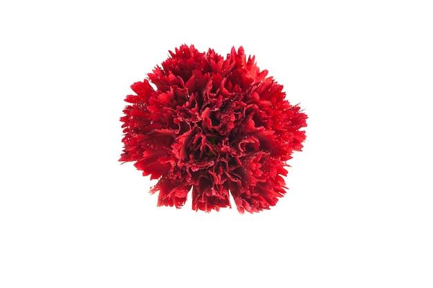 Garofano rosso su sfondo bianco.