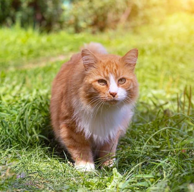 Gatto rosso sull'erba verde.