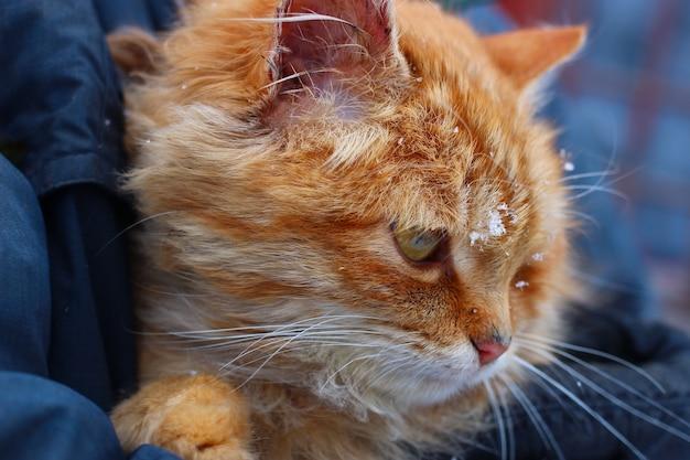 Il gatto rosso sulle mani dell'uomo