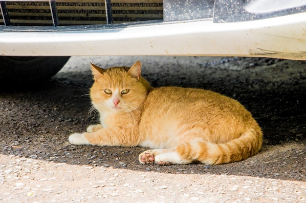 Il gatto rosso è nascosto dal caldo sotto il paraurti dell'auto