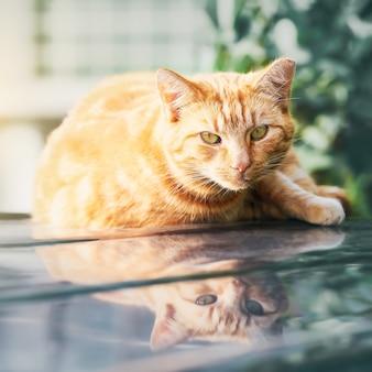 Un gatto rosso giace sul tetto dell'auto e guarda davanti