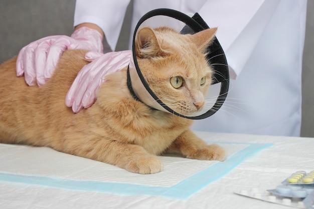 Un gatto rosso in un collare protettivo. esame e trattamento degli animali domestici. il concetto di medicina per gli animali domestici.