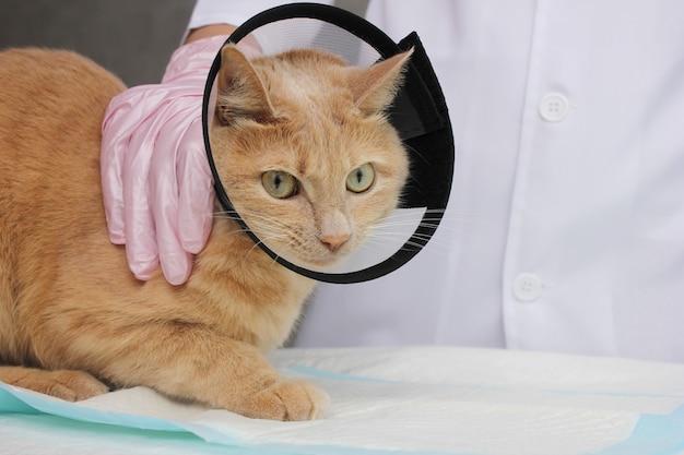Un gatto rosso con un collare protettivo dal veterinario. esame e trattamento degli animali domestici.
