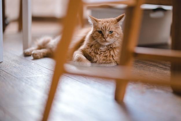 Gatto rosso seduto sul pavimento e guardando la telecamera, primo piano.