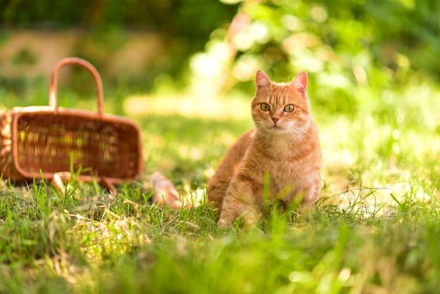 Gatto rosso che si siede nell'erba verde vicino al canestro di legno sui precedenti verdi