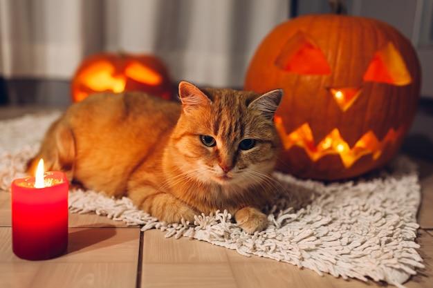 Gatto rosso che si siede vicino alle zucche intagliate