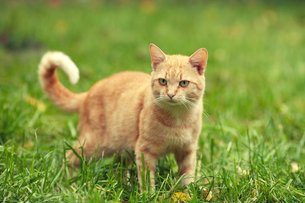 Gatto rosso che cammina sull'erba