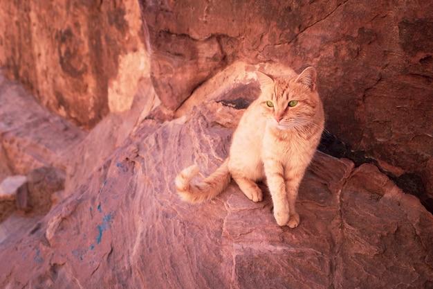 Gatto rosso con gli occhi verdi su uno sfondo di rocce rosse a petra in giordania