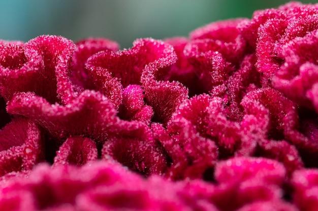 Fiore rosso di celosia nel primo piano del giardino.