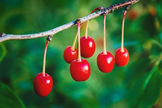 Ciliege rosse sul ramo di albero, primo piano crescente della frutta della ciliegia