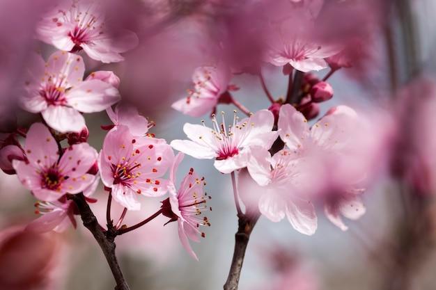 Fiori di ciliegio rosso