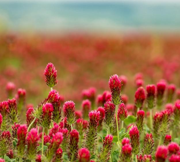 Campo di trifoglio rosso con poca profondità di fuoco
