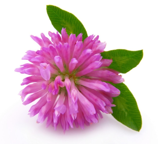 Fiore di trifoglio rosso