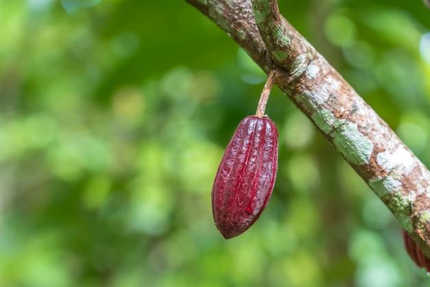 Fava di cacao rossa sull'albero in indonesia, primo piano