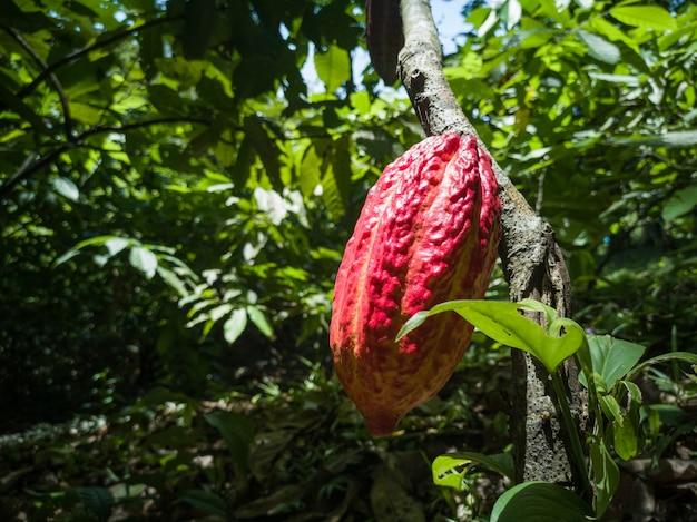 Frutta rossa del cacao nell'azienda agricola tropicale della piantagione di cacao