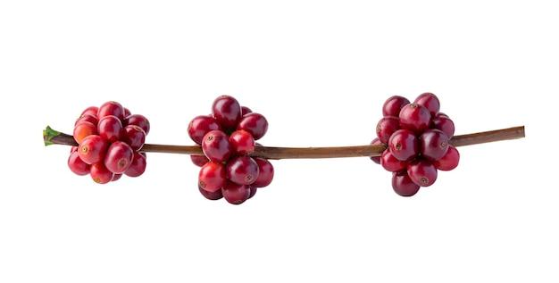 Chicchi di caffè rossi su un ramo della pianta del caffè, bacche mature e non mature isolate su bianco