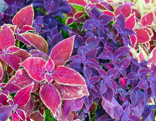 Coleus rosso e primo piano viola della pianta (sfondo della natura)