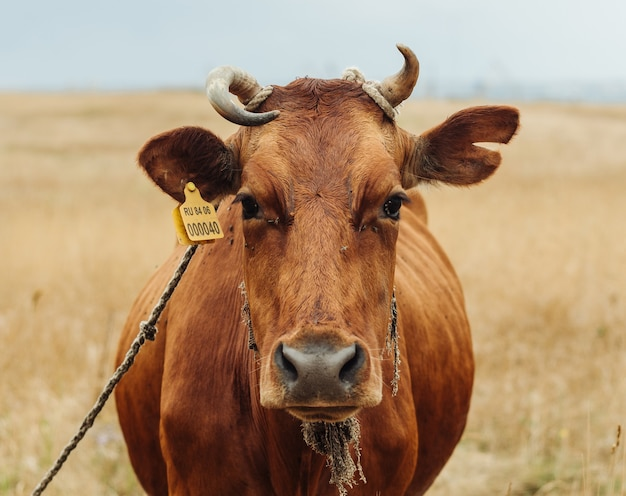 Mucca rossa che pasce in un campo nell'animale domestico della natura