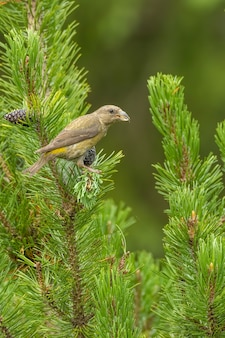 Red crossbill loxia curvirostra femmina seduta e alimentazione su un pino nano ramo