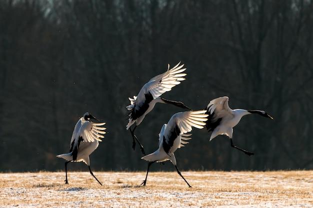 Uccello di gru rosso-incoronato