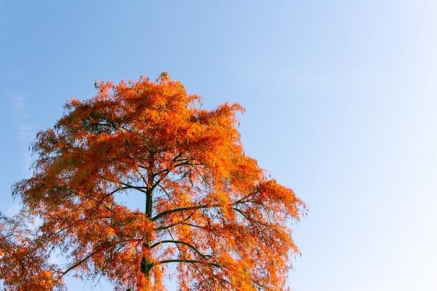 Cipresso rosso in autunno in un parco.