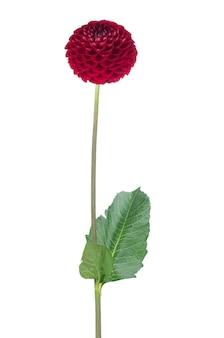 Fiore della dalia rossa su bianco