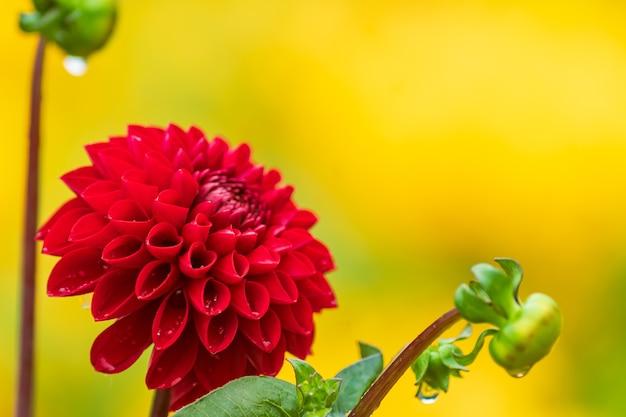 Fiore rosso della dalia con gocce di pioggia nel giardino, soft focus.