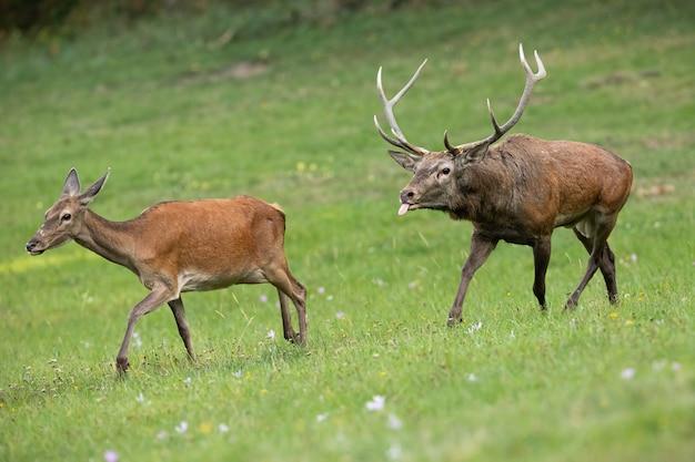 Coppie dei cervi nobili che corrono insieme su una fine del prato nella stagione degli amori Foto Premium