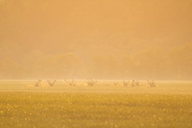 Mandria di cervi in piedi sul campo nella nebbia mattutina arancione