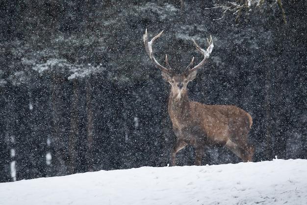 Cervi rossi che guardano alla telecamera sulla radura durante la nevicata
