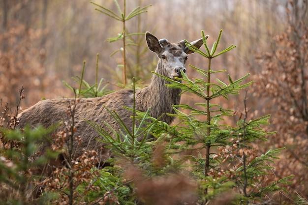 Cervo rosso che osserva nella foresta nella natura di primavera.